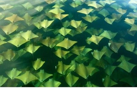 Sting Ray Migration