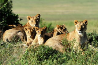 Female-lions-protect-teach-their-cubs